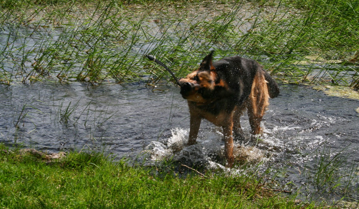 Shaking himself off in the water
