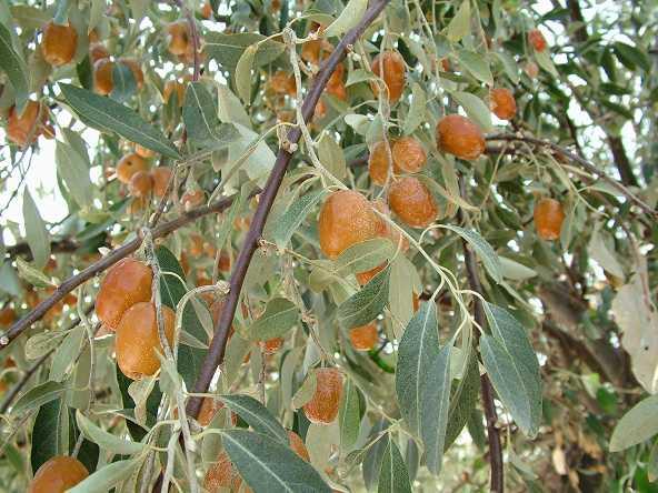 Ελαίαγνος ή μοσχοϊτιά (Elaeagnus angustifolia)