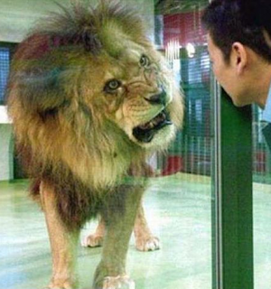 funny picture: lion and Chinese