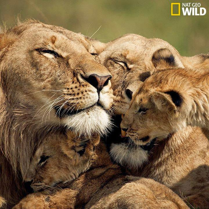 animals, amazing photo, photosaddict, lion