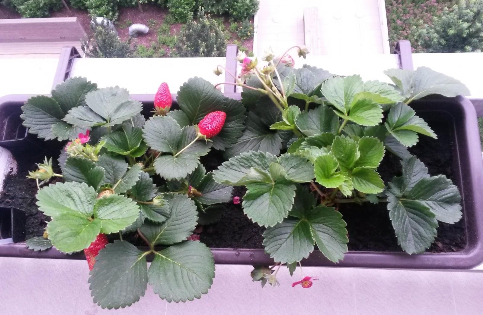 fraisier elan f1