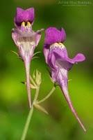 Linaria triornitophora