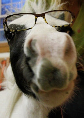Einstein - The World's Smallest Horse Seen On www.coolpicturegallery.us