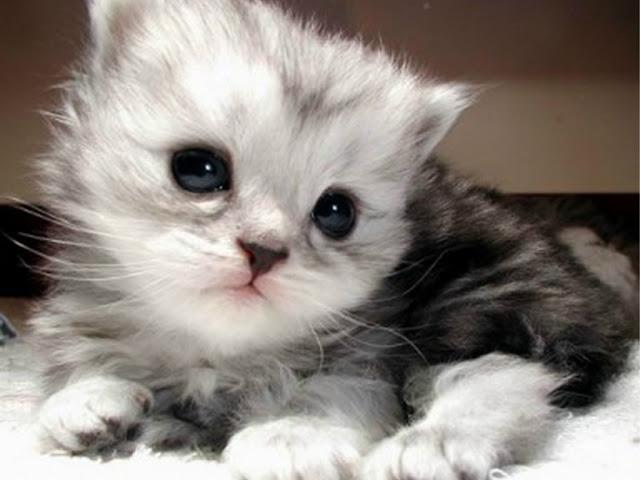 Foto Kucing Lucu Imut dan Menggemaskan 33