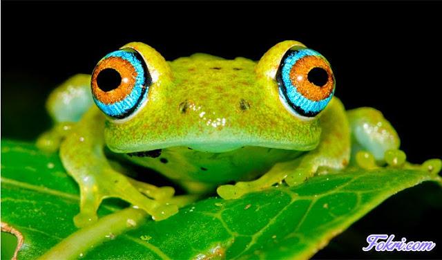 Greeny Frog