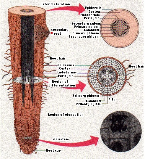 Gambar Struktur Morfologi dan Anatomi Akar Tumbuhan
