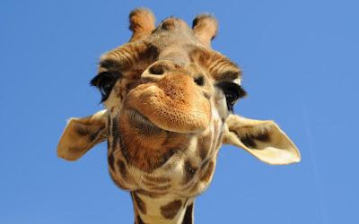 Afinal, qual é o som que as girafas fazem?