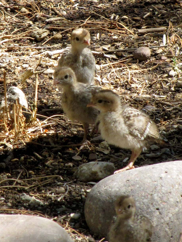 quail family desert colors