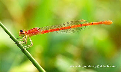 agriocenimis keralensis dragonfly