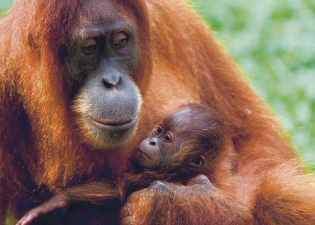 Orangutan Lifespan Sumatran Orangutan | T...