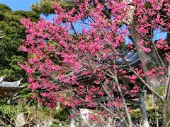 長谷寺の寒緋桜