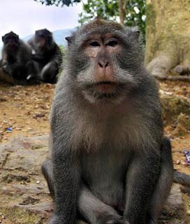 Warga emas diserang 30 monyet, Zaiton Comel, Kampung Permatang, Kuala Sungai Baru,