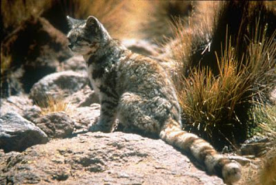 Andean+Montain+Cat