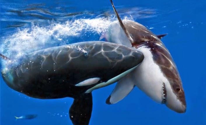 Great White Shark Eating Dolphin | www.pixshark.com ...