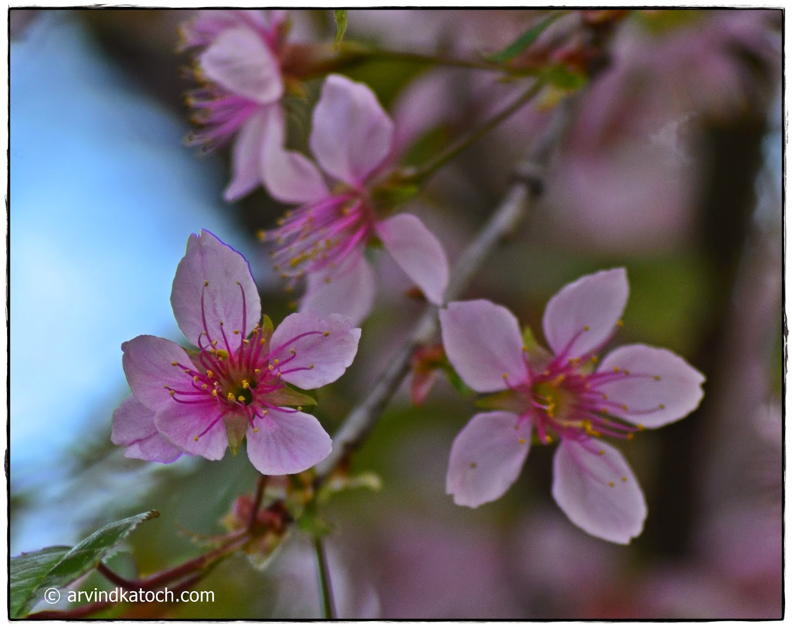 Paja, Prunus Cerasoides, Pink FLowers