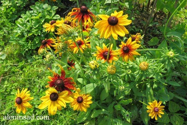 урожай, август, аленин сад, рудбекия