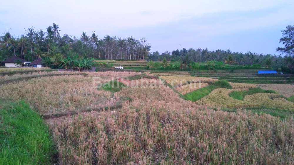 Ricefiled in Desa Penyaringan, Jembrana