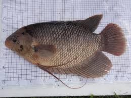 Hama Penyakit Ikan Gurami