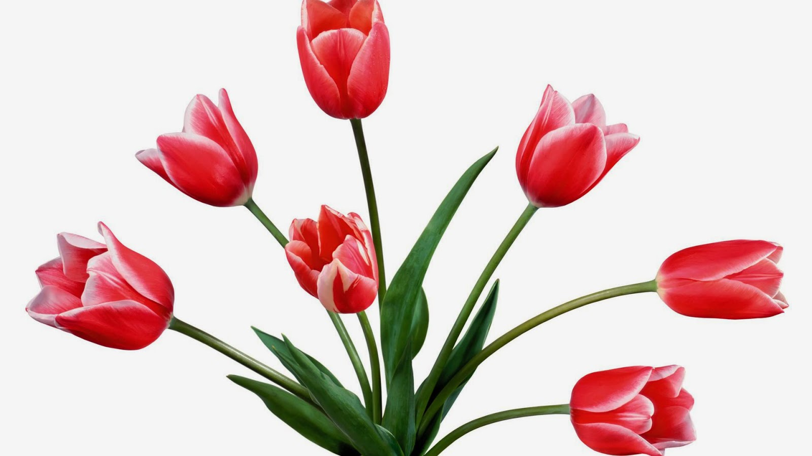 Tulip Flower Wallpaper Photo