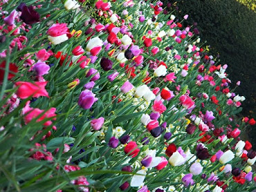 Holland Park - Tulips