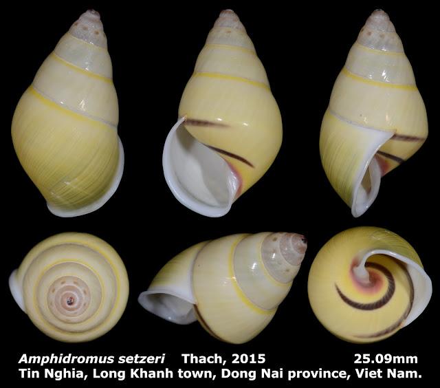 Amphidromus setzeri 25.09mm