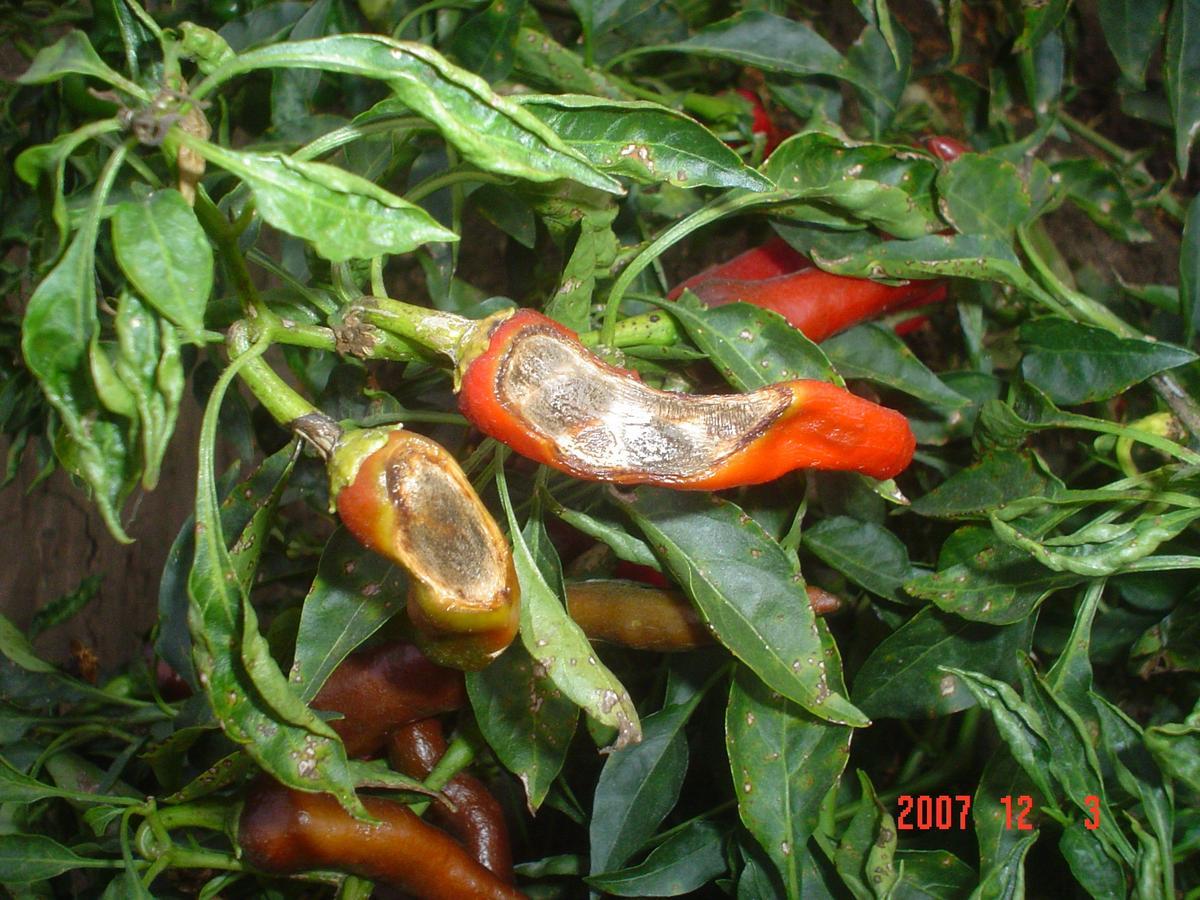 Symptoms Of Plant Diseases Caused By Fungi Pakagrifarming