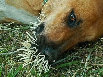 Dah berapa banyak anjing kena ngan landak