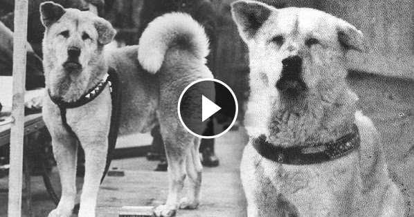hachiko the most loving and loyal dog in the world see