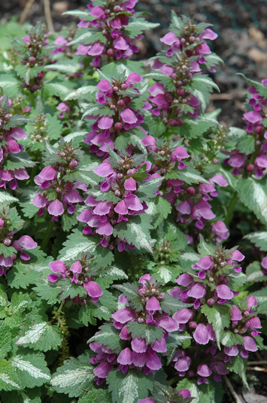 Wild birds unlimited how to get rid of weeds under the for Ground cover plant with purple flowers