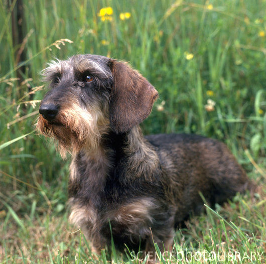 List Of Wire Haired Dog Breeds - Dog Breeds