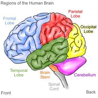 Brain For Kids1