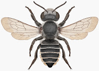 http://sciencythoughts.blogspot.co.uk/2014/05/a-new-species-of-leafcutter-bee-from.html