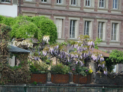 Strasbourg, arbre printemps, fleuri, beau temps, photographie, fleurs