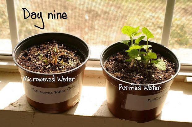 purified water verses microwaved water