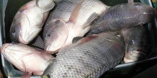 Kumpulan Resep Jitu Umpan Beserta Tips Memancing Ikan Nila