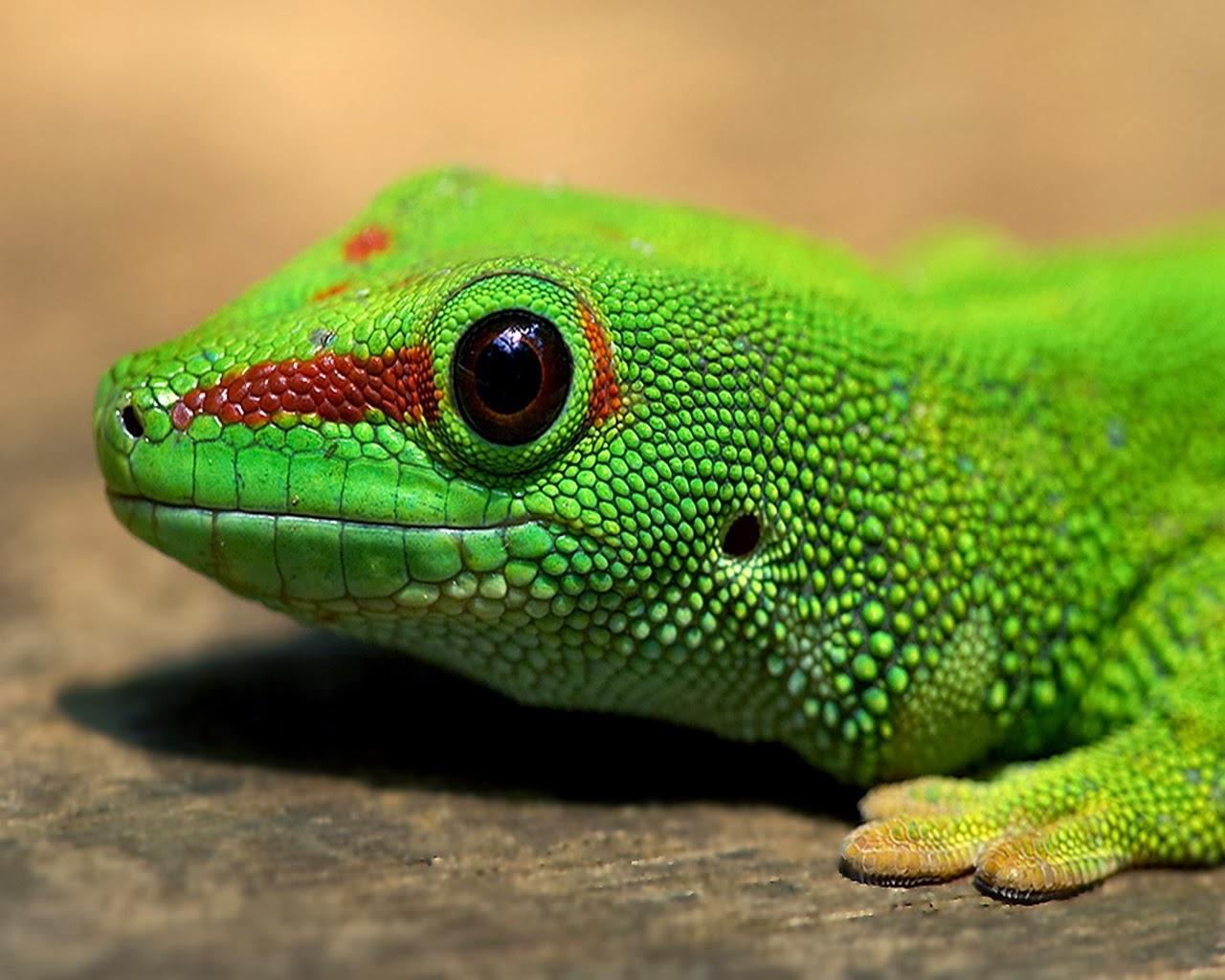 Gecko HD Wallpapers - HD Wallpapers Blog