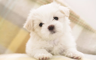 Maltese Puppy Picture