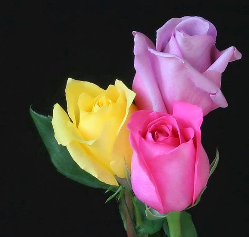Colorful Stylish Roses Flowers Images Wallpapers for Lovers