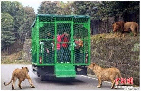 4 Gambar Zoo China Jadikan Pengunjung Umpan Binatang Buas