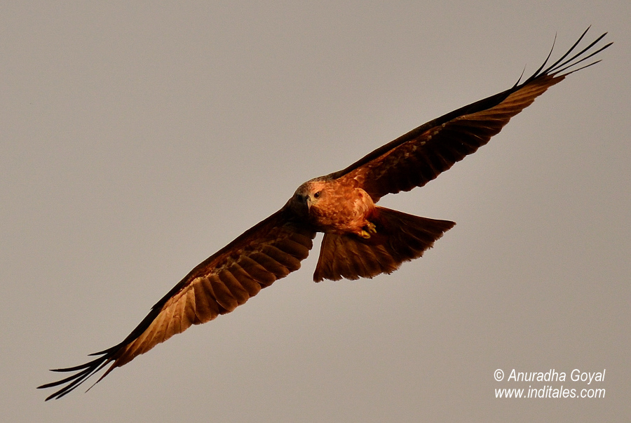 Black Kite bird in-flight, Goa
