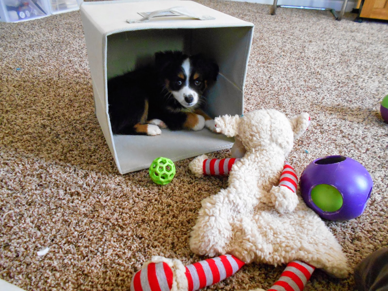 Raising A Mini Aussie Best Toys For Mini And Toy Aussie Puppies