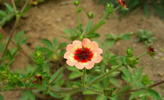 Cinquefoil Flowers Pictures