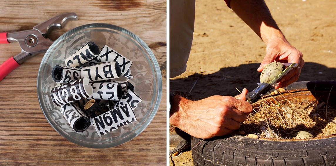 foto 1: anillas; foto 2: midiendo huevo de gaviota