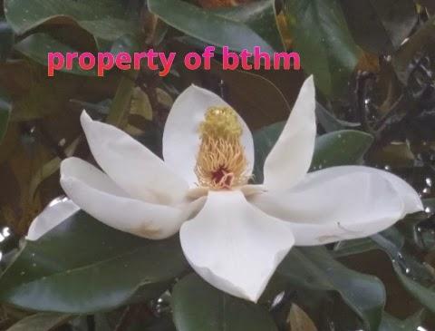 louisiana magnolia blossom