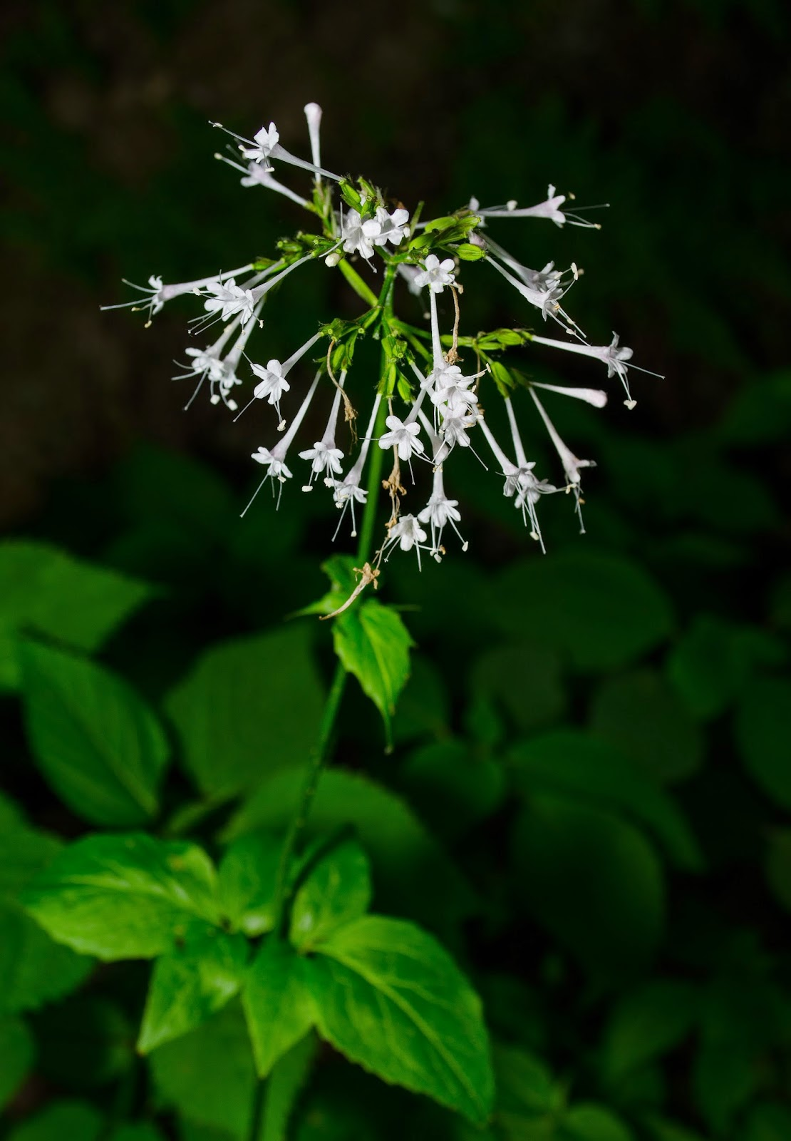 Large-Flowered Valerian, Valeriana pauciflora