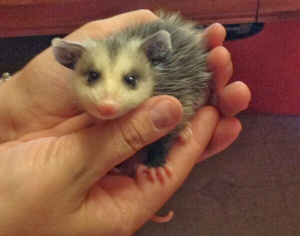 Funny animals of the week - 6 December 2013 (35 pics), cute baby possum