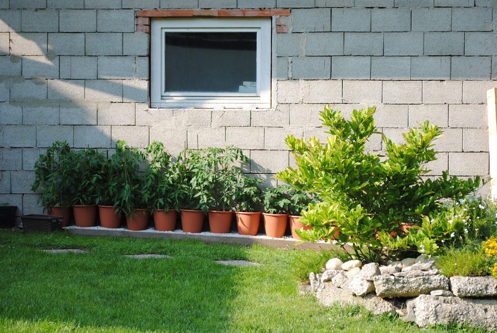Das waren die frisch eingepflanzten Tomatenpflanzen heuer.