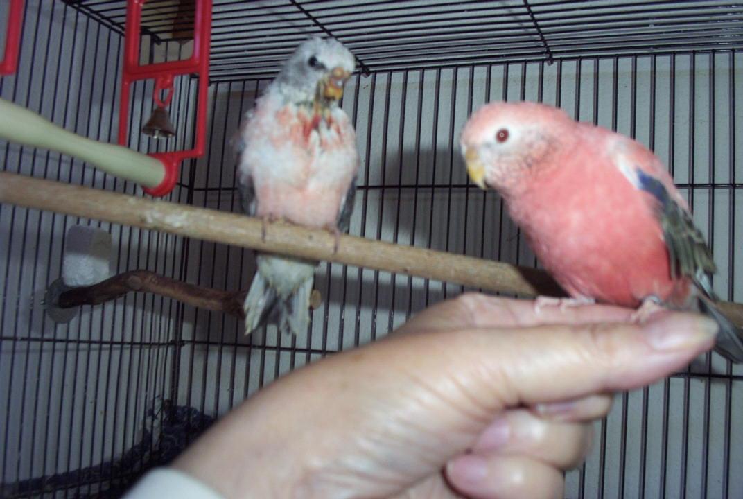 White Baby Parakeet Bourke Parakeet Baby Updates