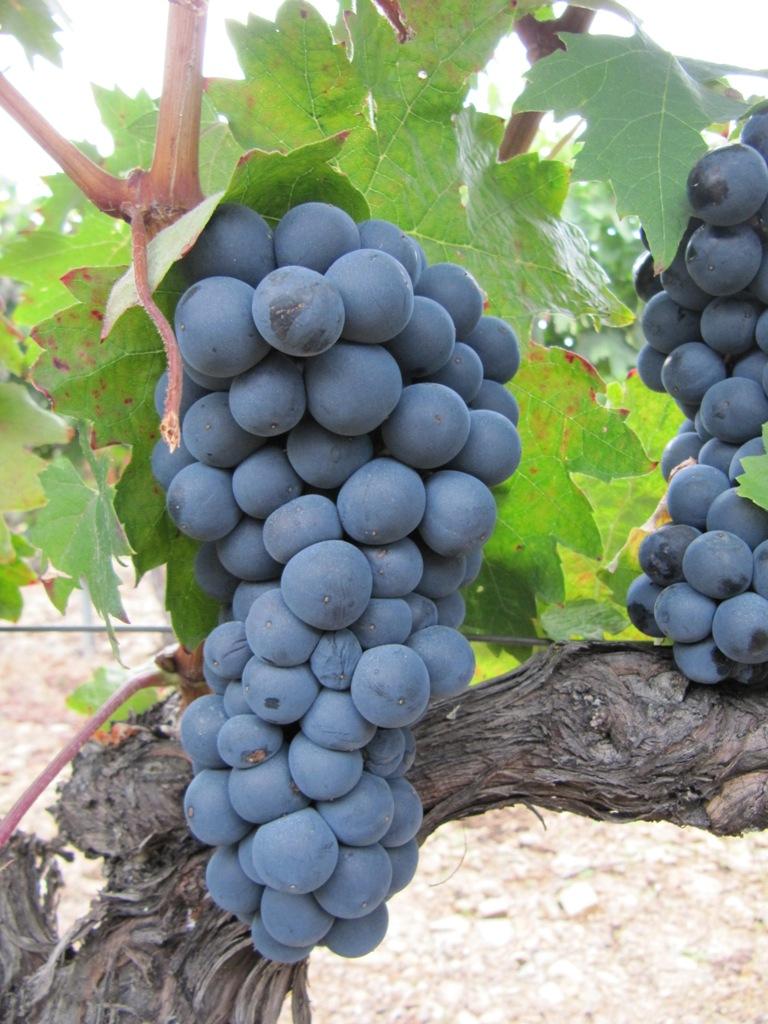 Vinos uva garnacha