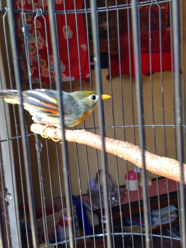 harga burung 2015 harga burung 2015 harga burung robin 2015